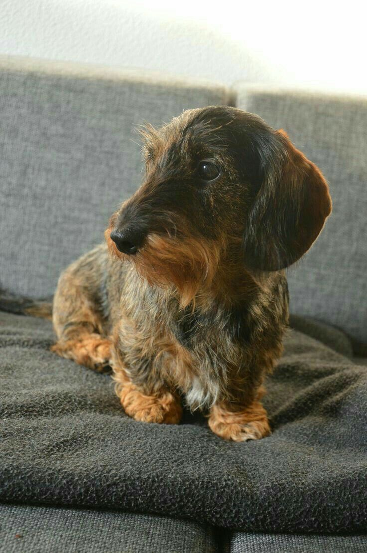What S The Worst That Could Happen If She Talks With Me Dachshund In 2020 Wire Haired Dachshund Dachshund Puppy Miniature Dachshund Dog