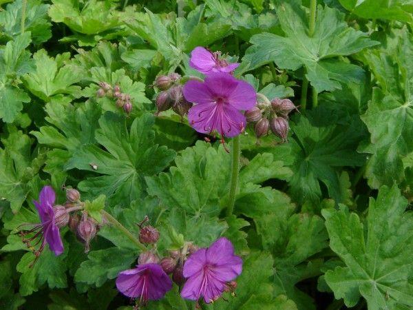 Rosliny Do Cienia Co Posadzic W Cienistym Miejscu W Ogrodzie Plants Garden Herbs