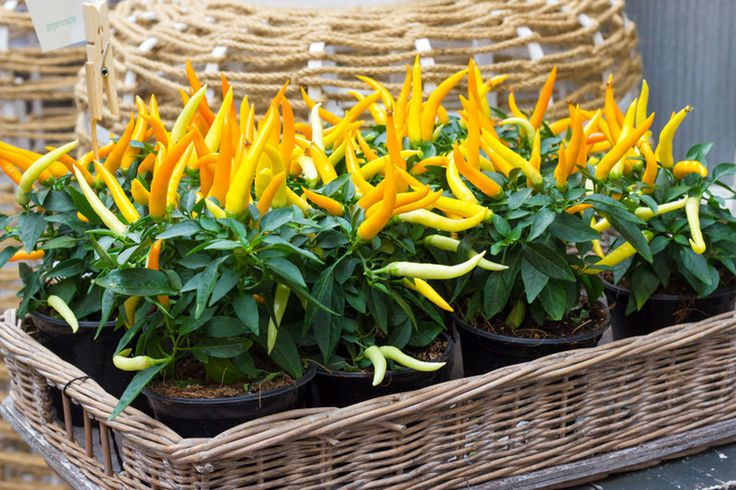 153 Best Ornamental Peppers And How To Preserve Pepper 400 x 300