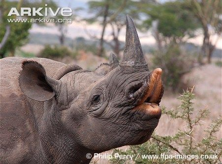 best black rhino picture ever