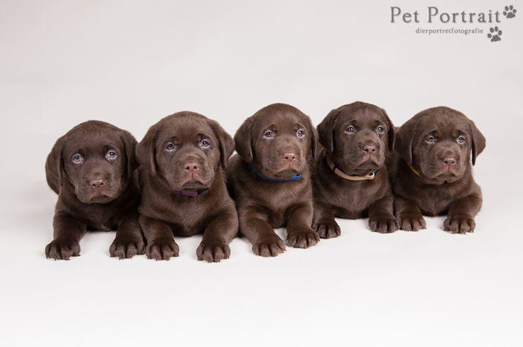 Hondenfotografie Hillegom - Foto van de nestfotoshoot voor de pups van Labradors van Actreon