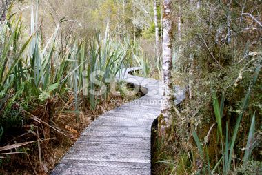 Boardwalk through Harakeke (NZ Flax) & Silver Beech (Nothofagus Menziesii) Royalty Free Stock Photo