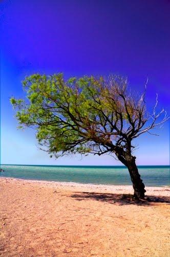 Goderich Ontario: Wind Swept Tree.