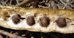 Cómo plantar moringa oleifera. Usos de la Moringa Oleifera. Semillas de moringa Oleifera. Hojas de Moringa Oleifera. Beneficios Moringa Oleifera.
