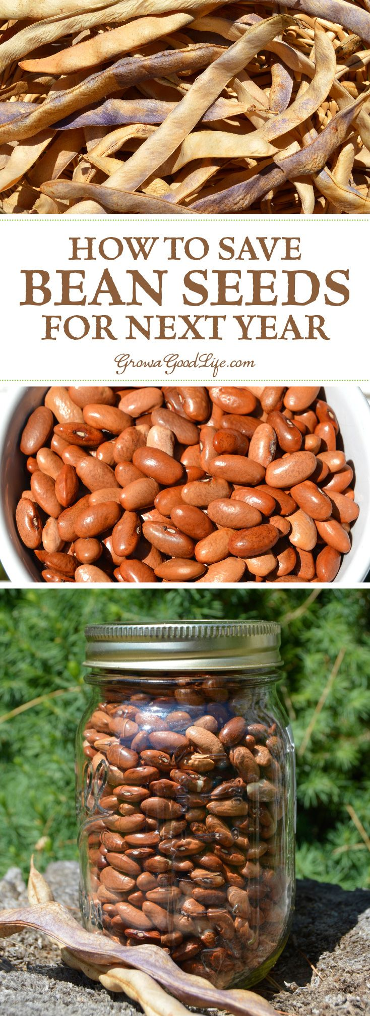Saving seeds from year to year is a good way to spare some money in the gardening budget, become more self-sufficient, and adapt a crop to your unique growing conditions. One of the easiest vegetables to begin with are open-pollinated, heirloom bean seeds.