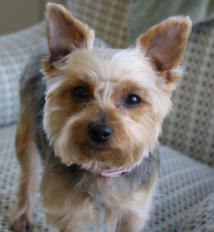Best Yorkie Haircuts Puppys