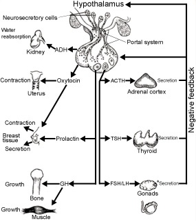The basics of the endocrine system.