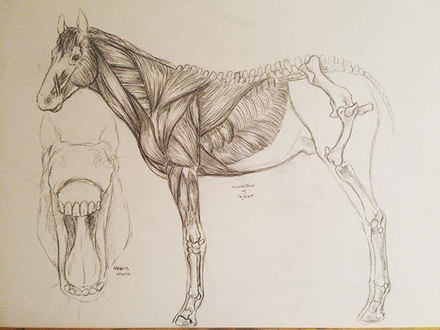 #horseanatomy #horse #anatomystudy #skeleton #muscles #traditional #art
