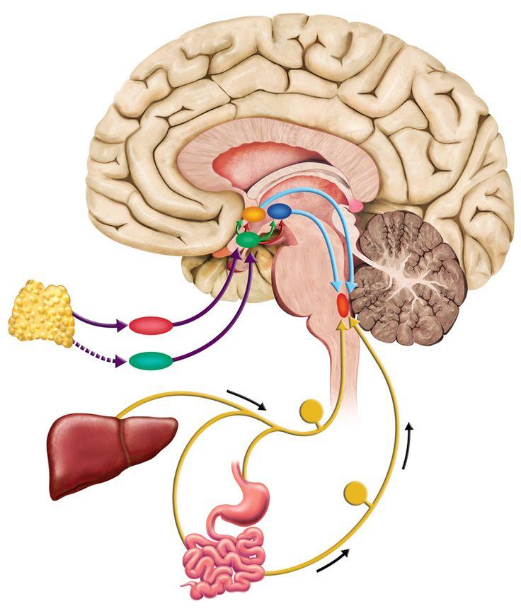 Hypothalamus role   Medical illustration, Bull art ...