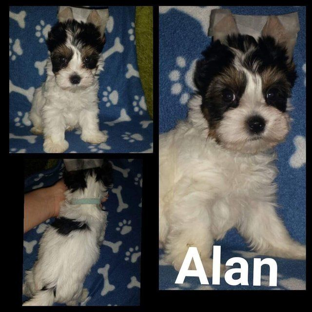 Male Biewier Yorkshire Terrier for salw. Ready now. (Alan) For Sale in Notingham, Nottinghamshire   Preloved