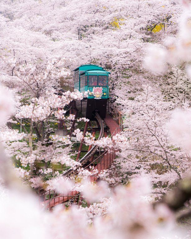 A Ride Through Cherry Blossoms In Fukushima Japan Photo By Everchanginghorizon On Instagram Cherry Blossom Japan Cherry Blossom Japan Picture