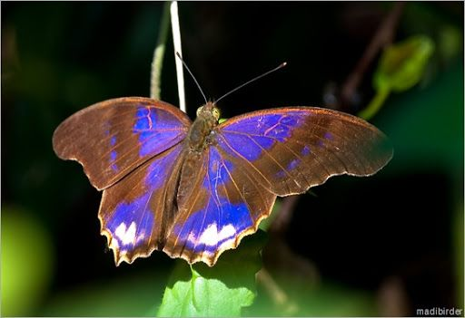 Royal Assyrian (Terinos Clarissa). Malaysia and Indonesia.