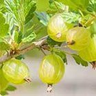 Gooseberry Chutney recipe - Canadian Living