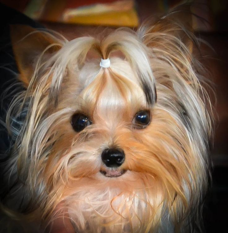 AKC teacup parti Yorkies for sale