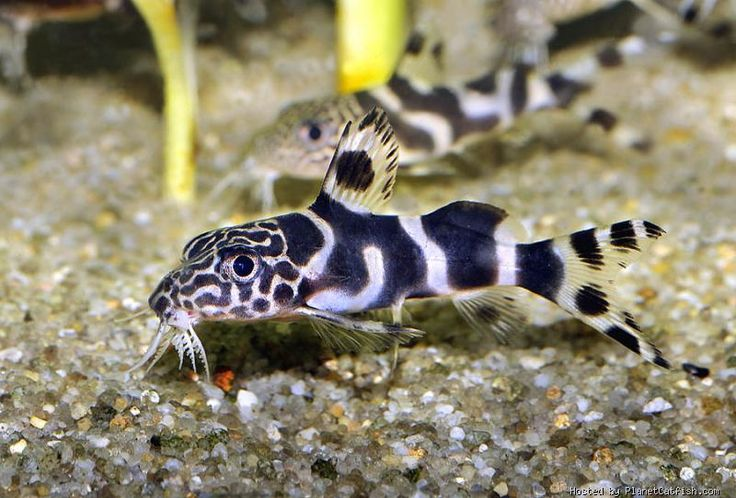 50 best images about Synodontis on Pinterest | Africa ...