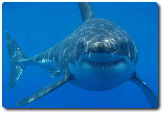Talks about how the shark is typically referenced to the movie Jaws, the fact is however the amount of attacks are a lot less than you might believe, as well as accidents in most cases.