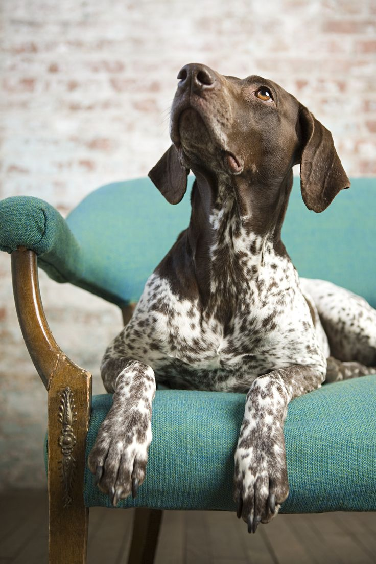 German Shorthaired Pointer only the best of you are willing to run them 2-4 hours a day! Not for lazy people