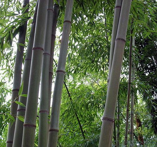 """Blue Bamboo - Phyllostachys nigra 'Henon' - 4"""""""" Pot - Easy to Grow - Indoors/Out"""