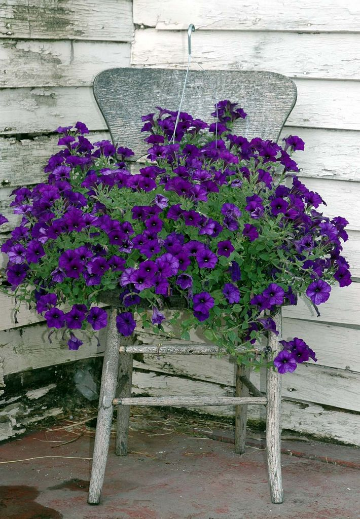 New Wave Petunias in an old Chair.
