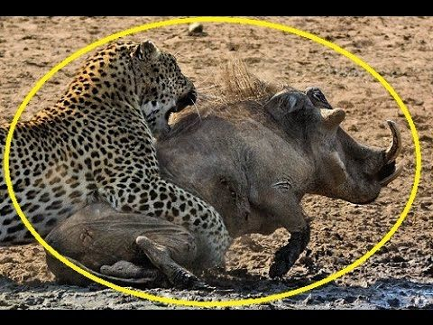 Leopard Vs Warthog - Caught in the act