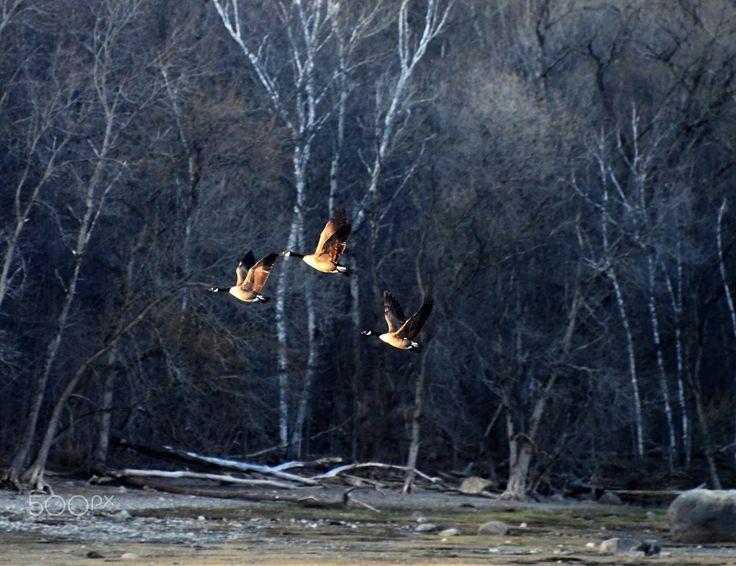 Canada Goose - Canada gooses flying.