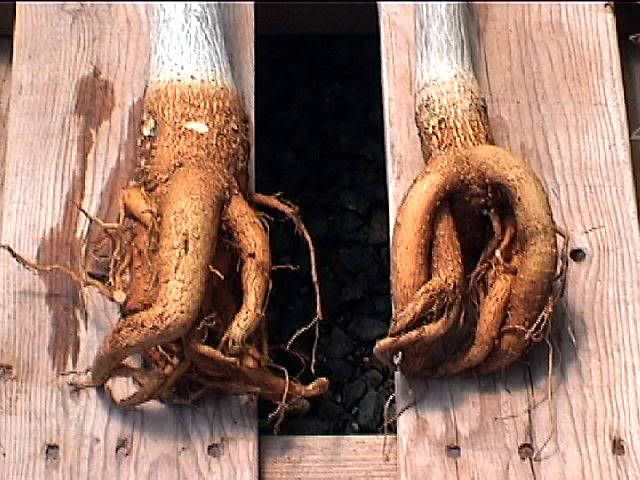 Pohon kelor telah dikenal berabad abad mempunyai manfaat yang luar biasa, mulai dari daun, batang dan yang terakhir adalah akarnya.    akar...