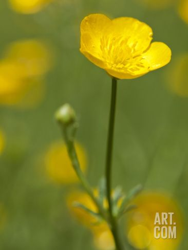 Spring Time Buttercup Flowers Photographic Print by Richard Nowitz