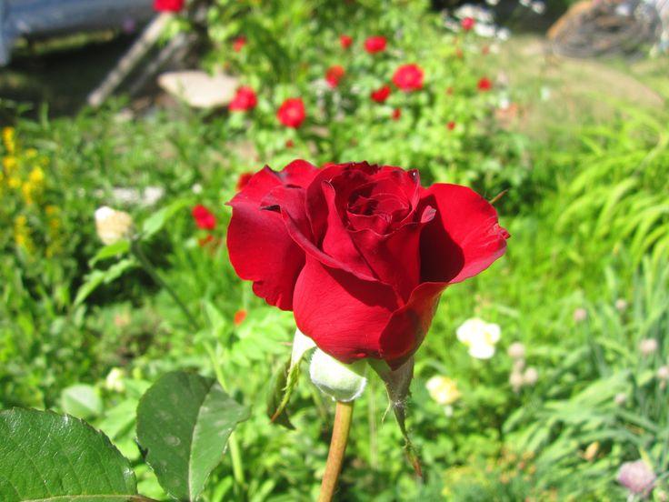 Прекрасная брюнетка - Роза ЧГ Черная магия Black Magic