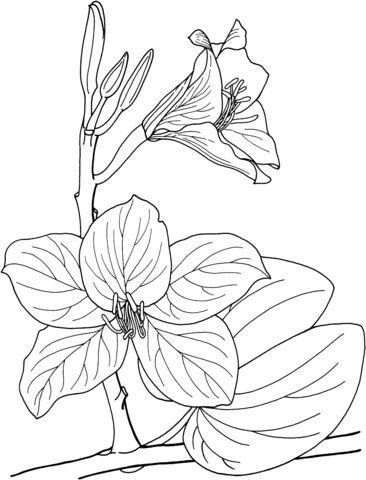 Arbusto de Orquídea Tropical Bauhinia Dibujo para colorear