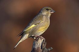 European Greenfinch (Grønnfink)(Carduelis chloris)