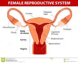 The female reproductive system is designed to carry out several functions. It produces the female egg cells necessary for reproduction, called the ova. The system is designed to transport the ova to the site of fertilization. (The Cleveland Clinic Foundation, 2005).