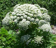 WARNING - POISONOUS PLANT: Heracleum mantegazzianum, commonly known as giant hogweed, cartwheel-flower, giant cow parsnip, hogsbane or giant cow parsley, is a poisonous plant in the family Apiaceae. In New Zealand it is also sometimes called wild parsnip, or wild rhubarb.