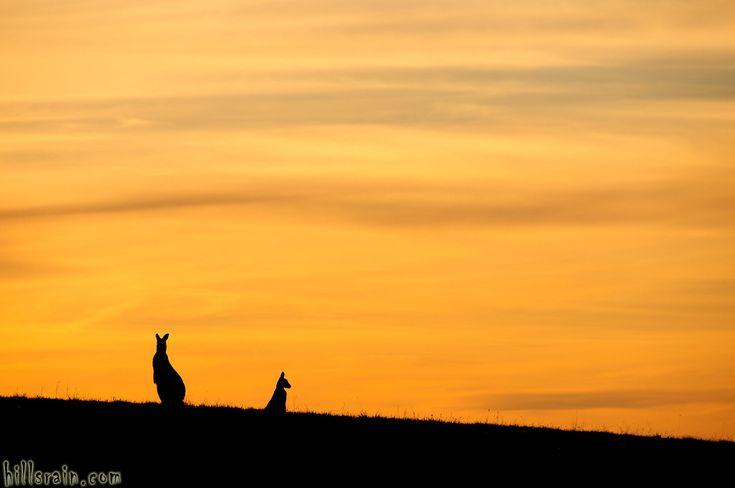 Kangaroos at sunset. Photo by HillsRain.com