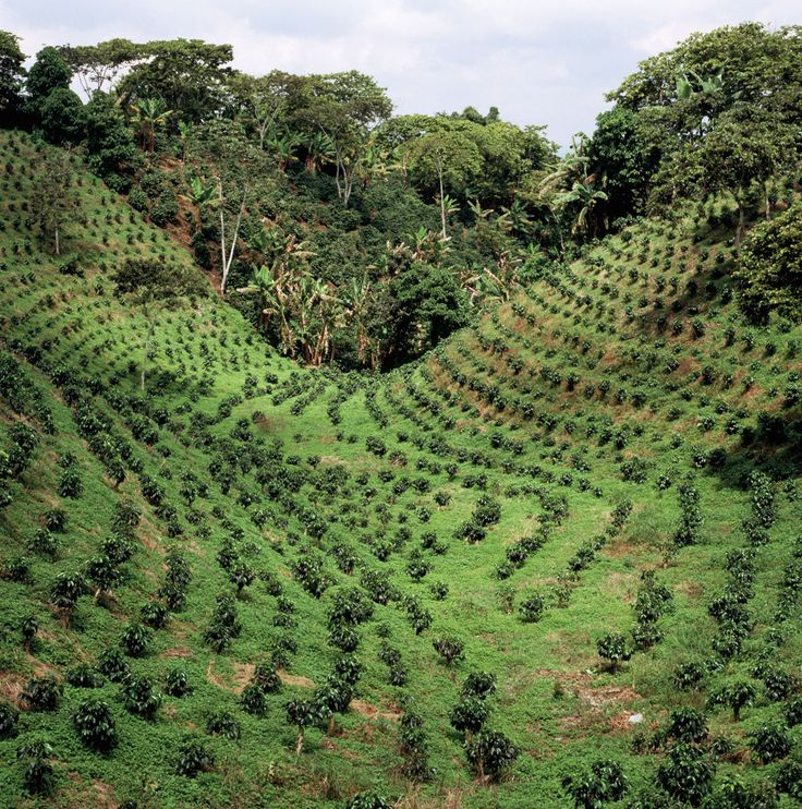 Coffee plantation, Colombia