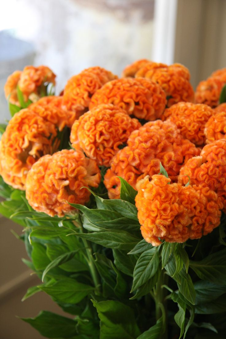 Celosia Orange queen - affectionately known by florists as 'brain'