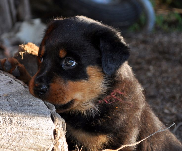 American Rottweiler Puppies | All Puppies Pictures and ...
