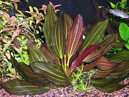 Potted Melon Sword - Beginner Tropical Live Aquarium Plant