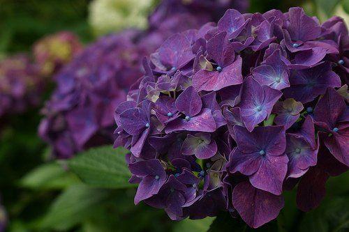hydrangea-macrophylla-purple.jpg (500×333)