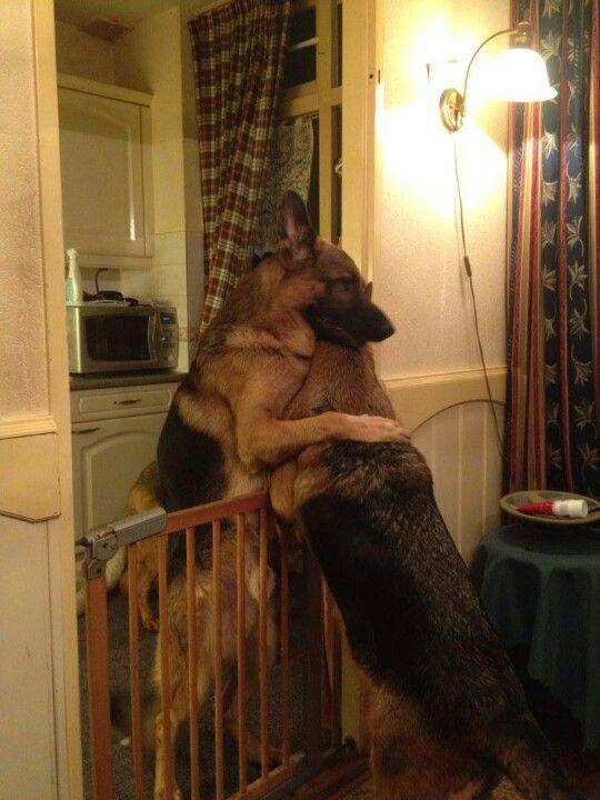 #German #Shepherd #Dogs