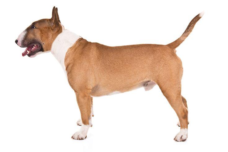 Miniature Bull Terrier dog—Credit: Paula Spangler