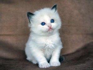 Best 25 Ragdoll Cats For Sale Ideas On Pinterest