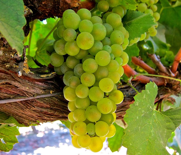 Grapes #Santorini