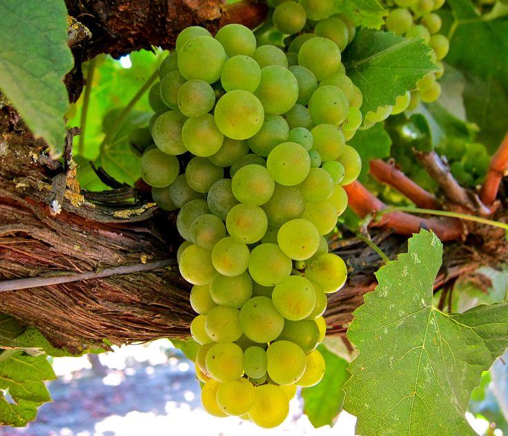 Grapes #Santorini