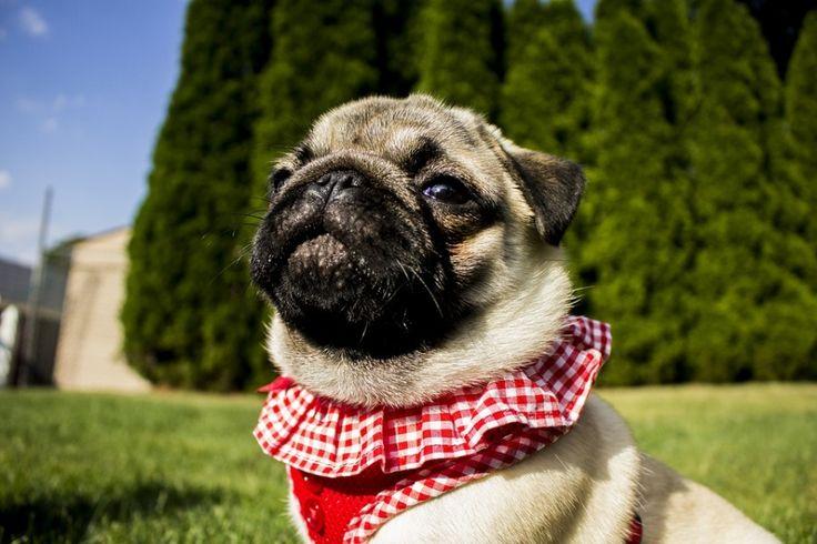 Magnolia, Maximus, Mr. Puggles, Major... - Cute Pug Names Beginning with M