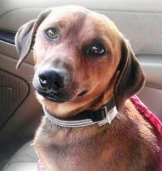 Gavin is an adoptable Dachshund Dog in Atlanta, GA. Hi my name is Gavin and I am just rescued so please check back soon for an update on me. I am heart worm positive and hope to be able to get enough ...