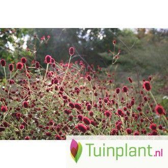 Grote pimpernel (Sanguisorba offencinalis 'Tanna') 70 cmmooi met persocaria polymorpha