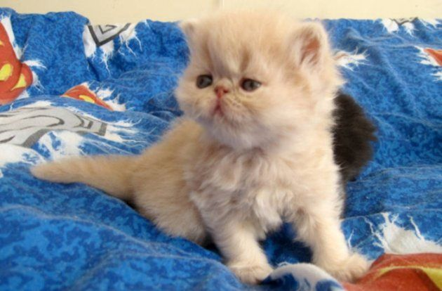 Persian cat for sale in Montreal : Persian Cats