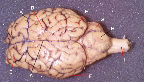 Labelled Sheep Brain Pictures | Wicked Cool for Kids ...