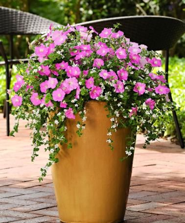 Fuseables® 'Silk N Satin' Turn your patio into a true sea of flowers with these Fuseables®! The Fuseables® 'Silk N Satin' contains a mixture of Petunia Shock Wave® 'Pink Shades' and Bacopa 'Snowtopia' (also known as Sutera) seeds. This cheerful and specially balanced mix in pink and white is beautiful for hanging baskets and flowerpots on your decking or patio! A spectacular blend, easy to sow, and guaranteed success!