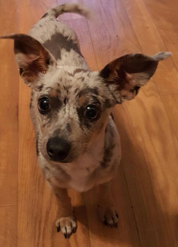 Chiweenie Dog For Adoption In Baileyton Al Adn 455736 On